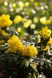 krzaka gronowa Oregon wiosna Zdjęcie Royalty Free