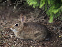 krzaka królik Zdjęcia Stock