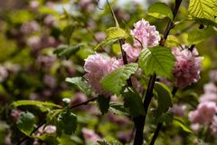 krzaka kwiat?w menchie zdjęcie royalty free