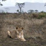 krzaka lwicy łgarski serengeti Tanzania Zdjęcie Stock