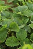 krzaka nieba truskawki truskawkowe Fotografia Stock
