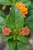 Krzaka verbena kwiat zdjęcie royalty free
