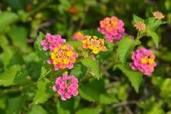 Krzaka verbena kwiaty obrazy stock