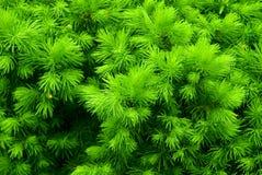 krzaka zielony kłujący Zdjęcia Royalty Free