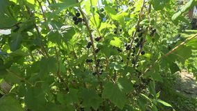 Krzaki czarnego rodzynku dorośnięcie w wiosce w domu uprawiają ogródek zbiory