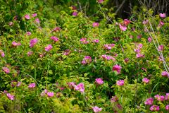 Krzaki dzikie róże wśród zielonego ulistnienia obraz royalty free