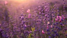 Krzaki kwiatonośna lawenda zbiory