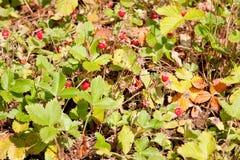 Krzaki truskawka na podmiejskim Zdjęcia Royalty Free