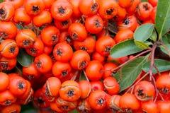 Krzaki z czerwonymi jagodami, Kolorowy jesieni tło, W górę fotografia royalty free
