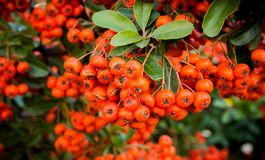 Krzaki z czerwonymi jagodami, Kolorowy jesieni tło, W górę obraz stock