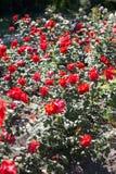 Krzaki z czerwonymi różami w rzędzie Fotografia Stock