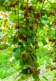 Krzaki z dojrzałymi kiwi ampuły owoc Włochy agritourism Zdjęcia Stock