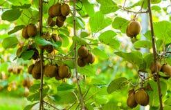 Krzaki z dojrzałymi kiwi ampuły owoc Włochy agritourism Obrazy Stock