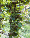 Krzaki z dojrzałymi kiwi ampuły owoc Włochy agritourism Zdjęcie Royalty Free