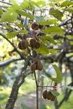 Krzaki z dojrzałymi kiwi ampuły owoc Włochy agritourism Fotografia Stock