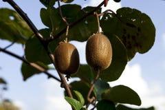 Krzaki z dojrzałymi kiwi ampuły owoc Włochy agritourism Fotografia Royalty Free