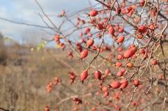 Krzaki z jagodami zdjęcia royalty free