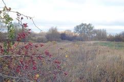 Krzaki z jagodami na tle jesień krajobraz obrazy stock