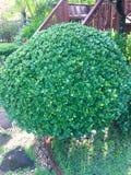 Krzaki zielenieją, Bush w domu Krzaki zielenieją, Bush w domu fotografia stock