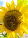 Krzepiący słonecznik obrazy royalty free