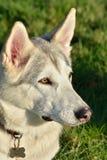krzepki biały pies Zdjęcia Stock