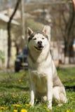 krzepki siberian pies Obrazy Stock