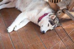 krzepki siberian Syberyjski husky odpoczywa na drewnianym fotografia royalty free
