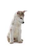 krzepki szczeniaka siberian Zdjęcie Royalty Free