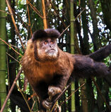 Krzepko Capuchin małpa - Sapajus Apella Zdjęcia Royalty Free