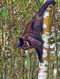 Krzepko Capuchin małpa - Sapajus Apella Obraz Stock