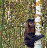 Krzepko Capuchin małpa - Sapajus Apella Zdjęcie Stock