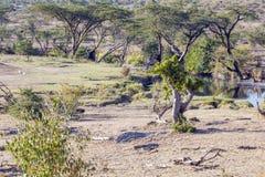 krzew afrykańskiej Zdjęcia Stock