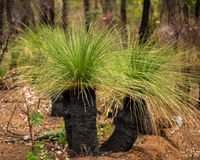 krzew australijski Fotografia Royalty Free