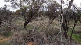 krzew australijski Obrazy Royalty Free