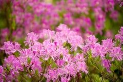 krzew bloom Obrazy Stock