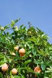 krzew namiętności owoców zdjęcie stock