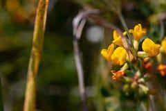 Krzewiasty Deervetch Lotosowy rigidus, pustynia rockowy groch obrazy royalty free