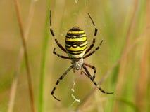krzyżowa pająk zdjęcie stock
