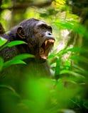 Krzyczący dziki szympans lub szympans Fotografia Royalty Free