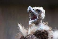 krzyczący sęp Zdjęcie Royalty Free