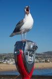 Krzyczący seagull Zdjęcia Royalty Free
