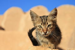 Ksar Ouled Soltane Cat Kitten, Tunisia Royalty Free Stock Image