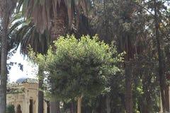 Ksar sghir stary kasztel otaczający drzewkami palmowymi obraz royalty free