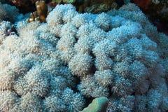 Ksenia umbellate w Czerwonym morzu Fotografia Royalty Free