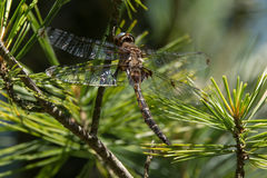 Książe Baskettail Dragonfly Fotografia Royalty Free