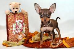 Książe wschód - Russkiy zabawkarski terier z prezentami obrazy stock