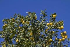 książka botaniczne reprodukcji rocznik drzewa cytrynowe Zdjęcie Royalty Free