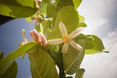książka botaniczne reprodukcji rocznik drzewa cytrynowe Fotografia Stock