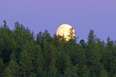 Księżyc błyszczy na sosnowym lesie na Yamal półwysepie Obrazy Royalty Free