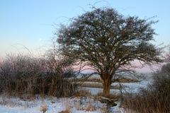 Księżyc drzewo przed wschodem słońca w ten sposób uroczym Obrazy Stock